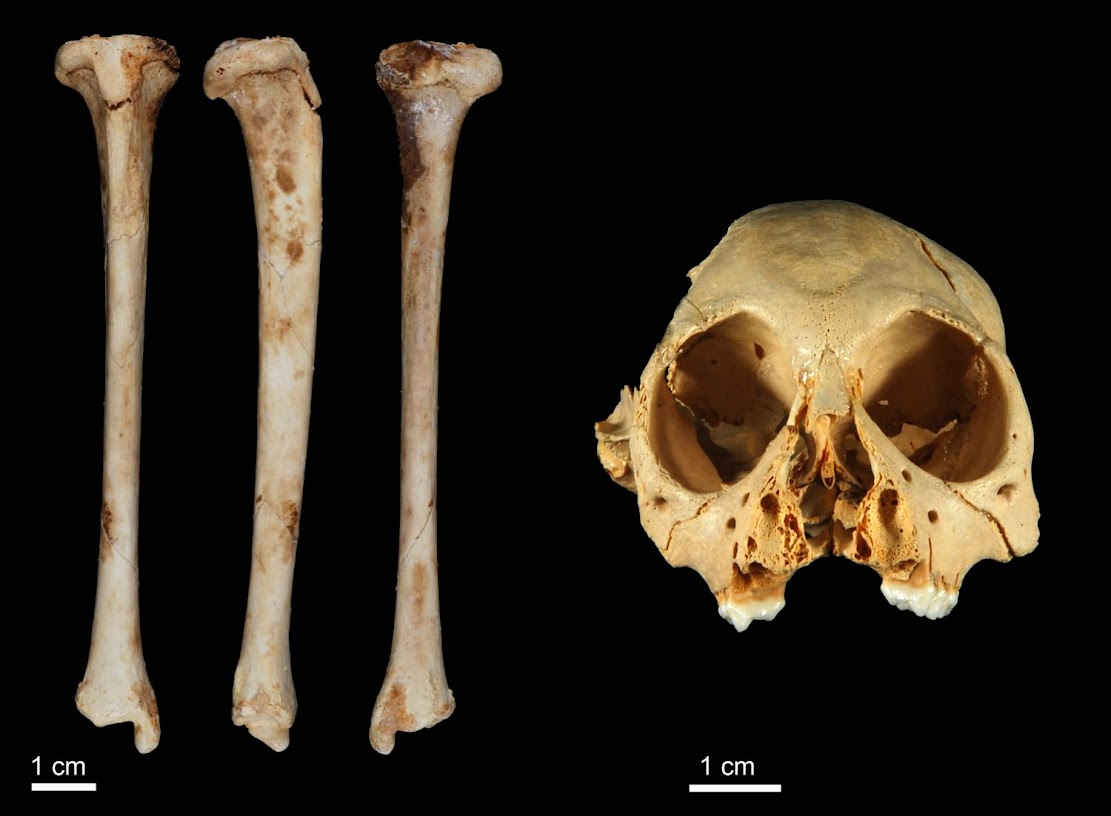 New evidence confirms the antiquity of fossil primate from the Dominican Republic