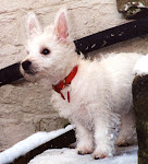 Jessa, my westie, in her first ever snow, as a puppy!
