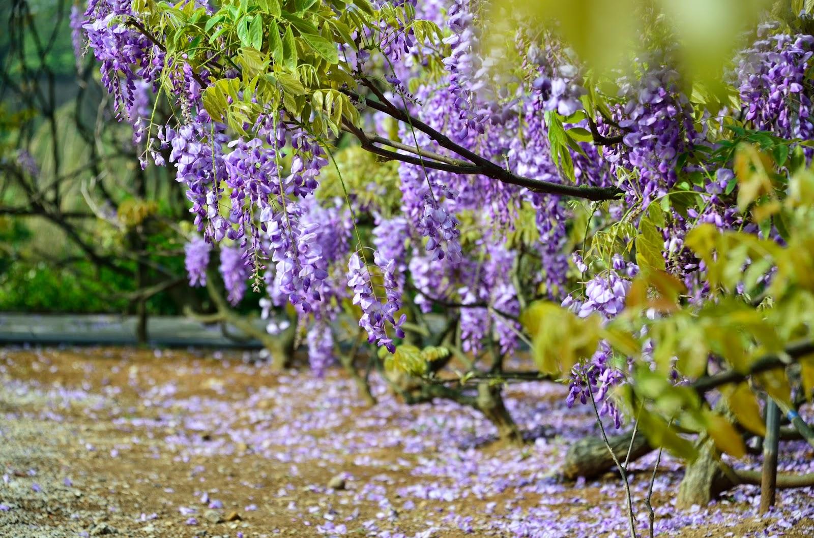 淡水紫藤花花園