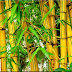 "Bambu Kuning,""Penangkal Bala"", Mitos ataukah Fakta?"