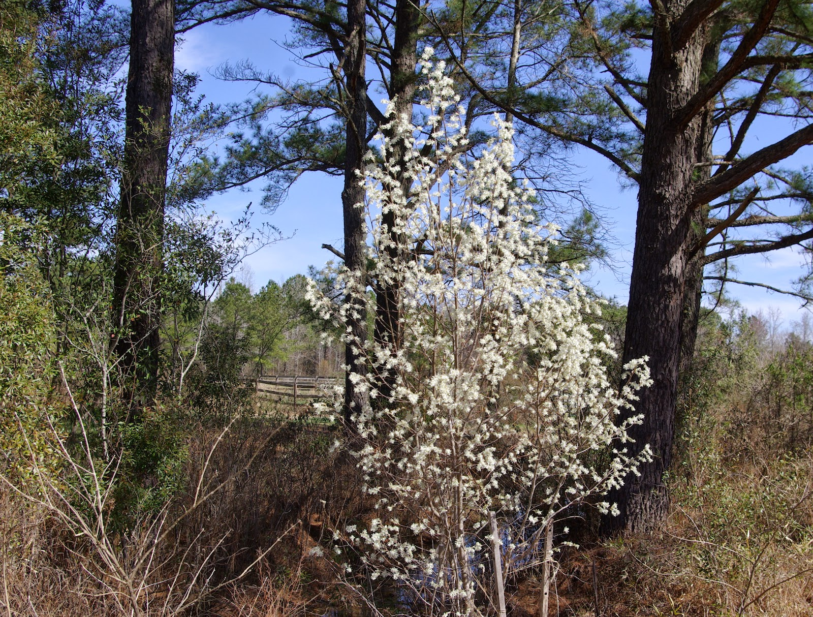 Sweetbay Serviceberry And Pawpaw Trees