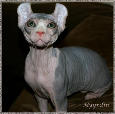 Myyrdin elf cat