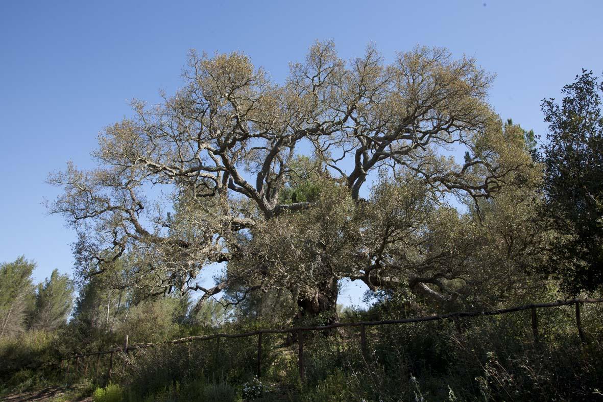 Righe e quadretti tostissimi vegliardi for Alberi simili alle querce