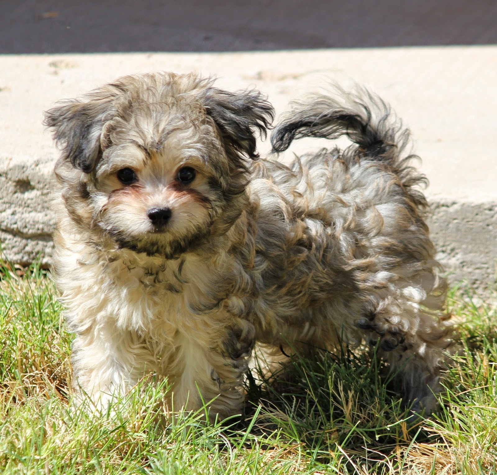 Russian Svetlana Bolanka Dog Puppies Az