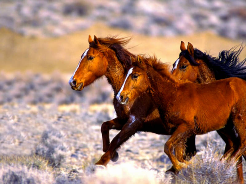Mythical Melting Pot America S Heritage The Wild Mustang