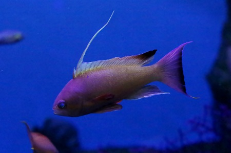 Sea goldie (male)