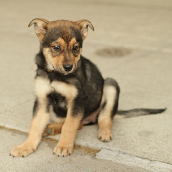 german shepherd rottweiler mix pup 6