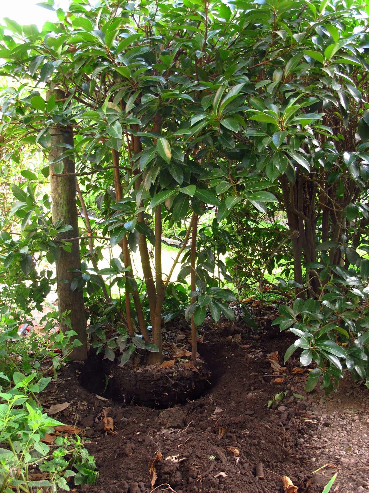 en el jardin trasplante de arbustos perennes