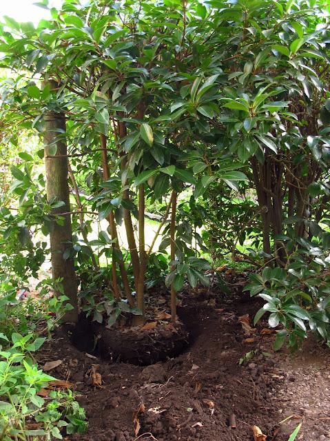 En el jardin trasplante de arbustos perennes for Arbustos para el jardin