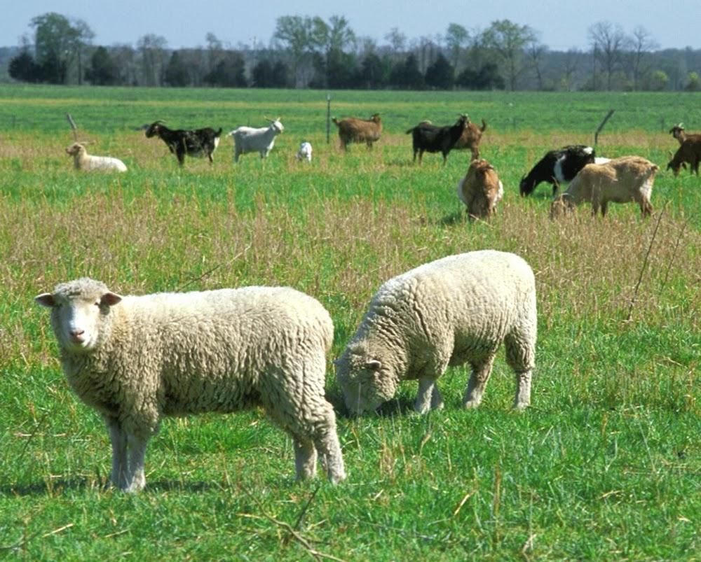 sheep farming business plan