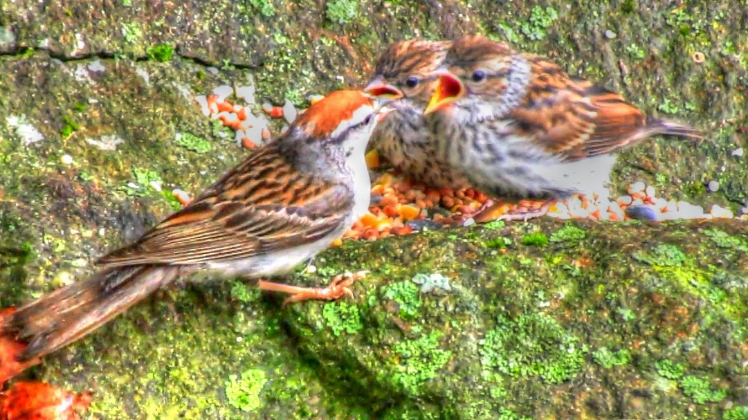 Chipping Sparrow Feeding Fledglings