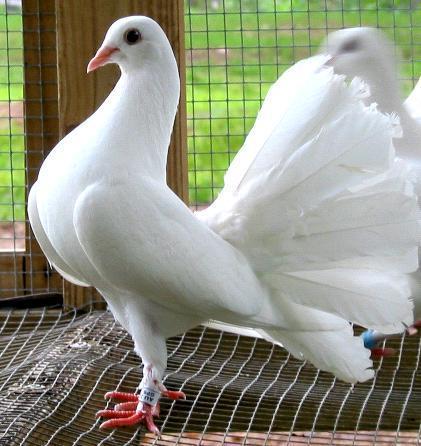 gambar burung merpati nya bagus dan lucu kan apa anda semua ada yang ...