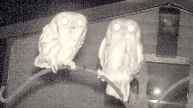 Screech Owl Mating Calls and Sounds