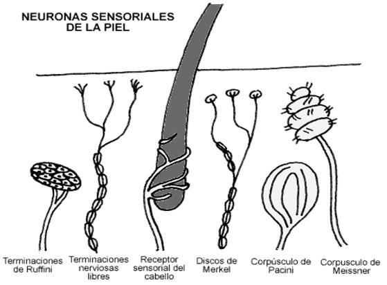 Fisiología del sistema nervioso – División Sensorial