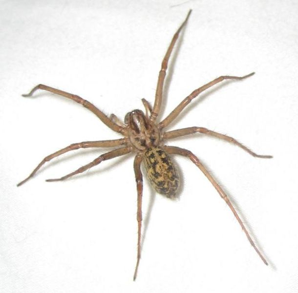 Identifying Spiders - Northwest Center for Alternatives to Pesticides