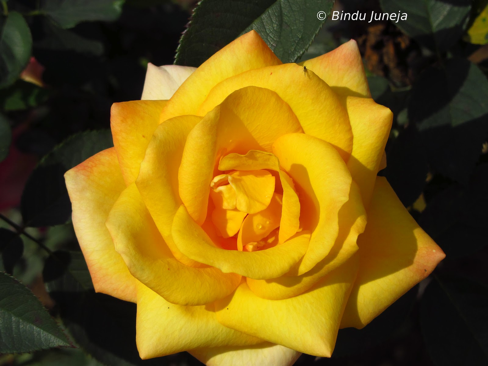 Different Colours Of Life Yellow Rose In Wild