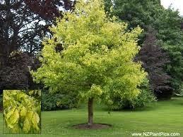 Árbol de Acer negundo