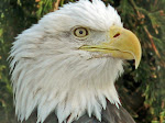 Live webcam of nesting Decorah Eagles via Raptor Resource Project.