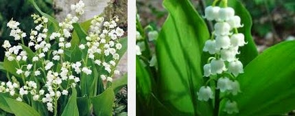 lily of the valley dangerous herbs