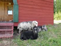 Ulla og lammevennene hennes