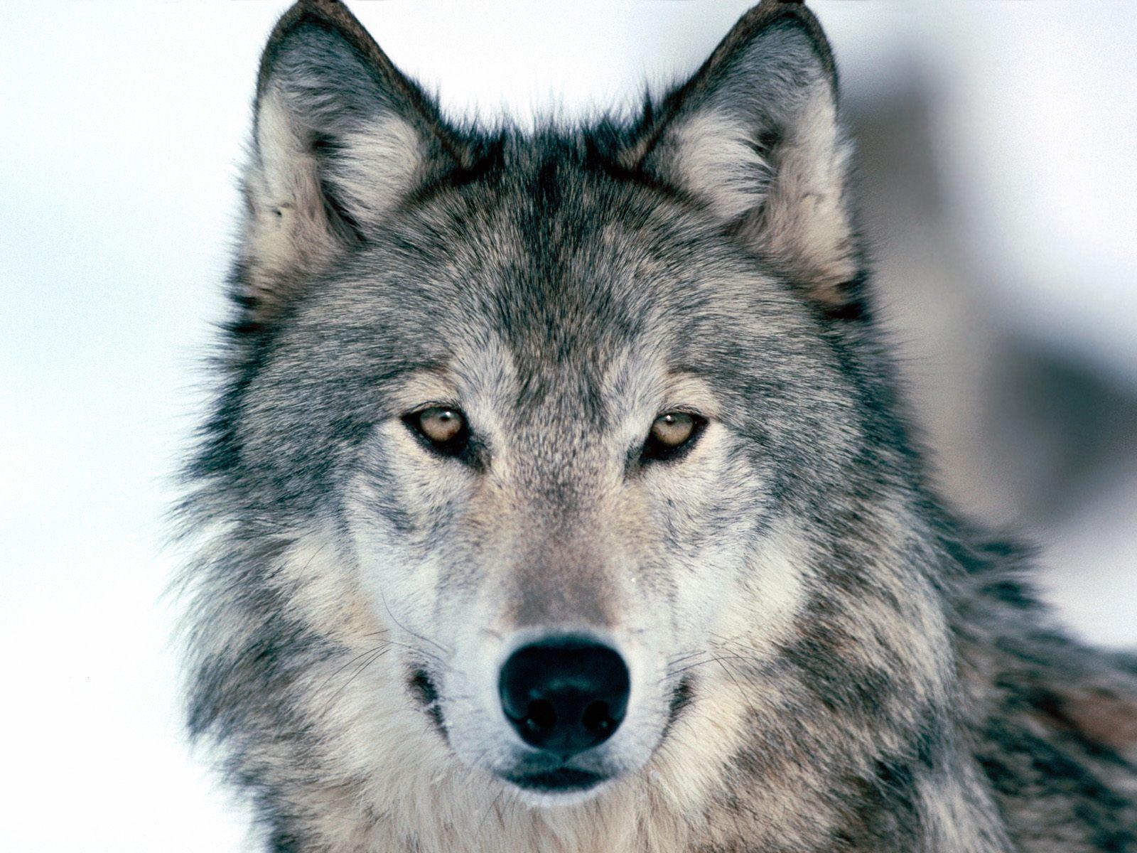 http://3.bp.blogspot.com/-FbE_rWTSqnk/TyQR3lL4jfI/AAAAAAAACFU/MBxlxjlupC0/s1600/wolf-gray-color-beautiful-kewl1.jpg