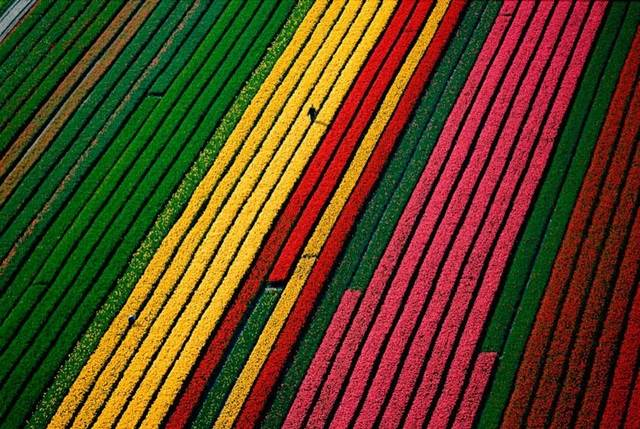 Fields of Tulips, Near Amsterdam, Netherlands