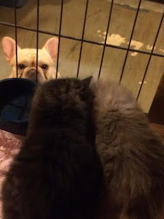 fluffy kittens eating being watched by french bulldog