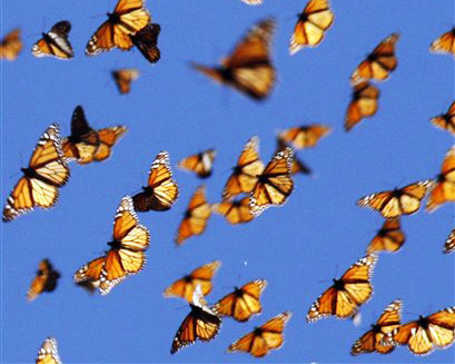 Migrating Monarch Butterflies