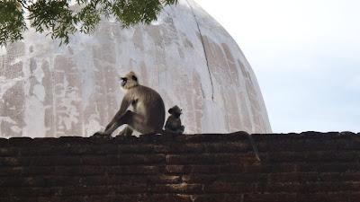 обезьяны, Полонарува, Шри-Ланка