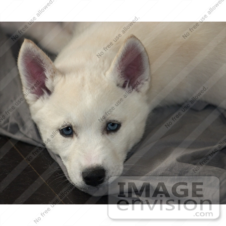 white siberian husky puppies - photo #47