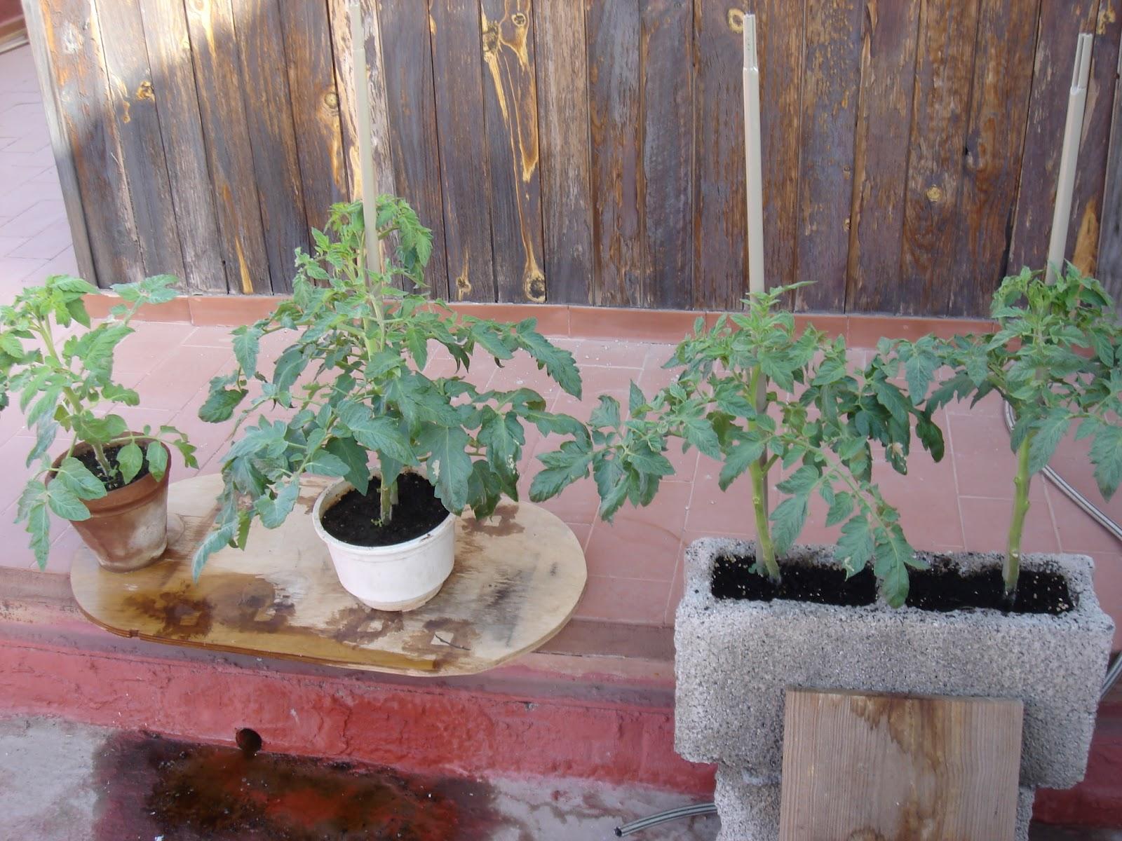 El huerto en casa tomates pomodoro - El huerto en casa ...
