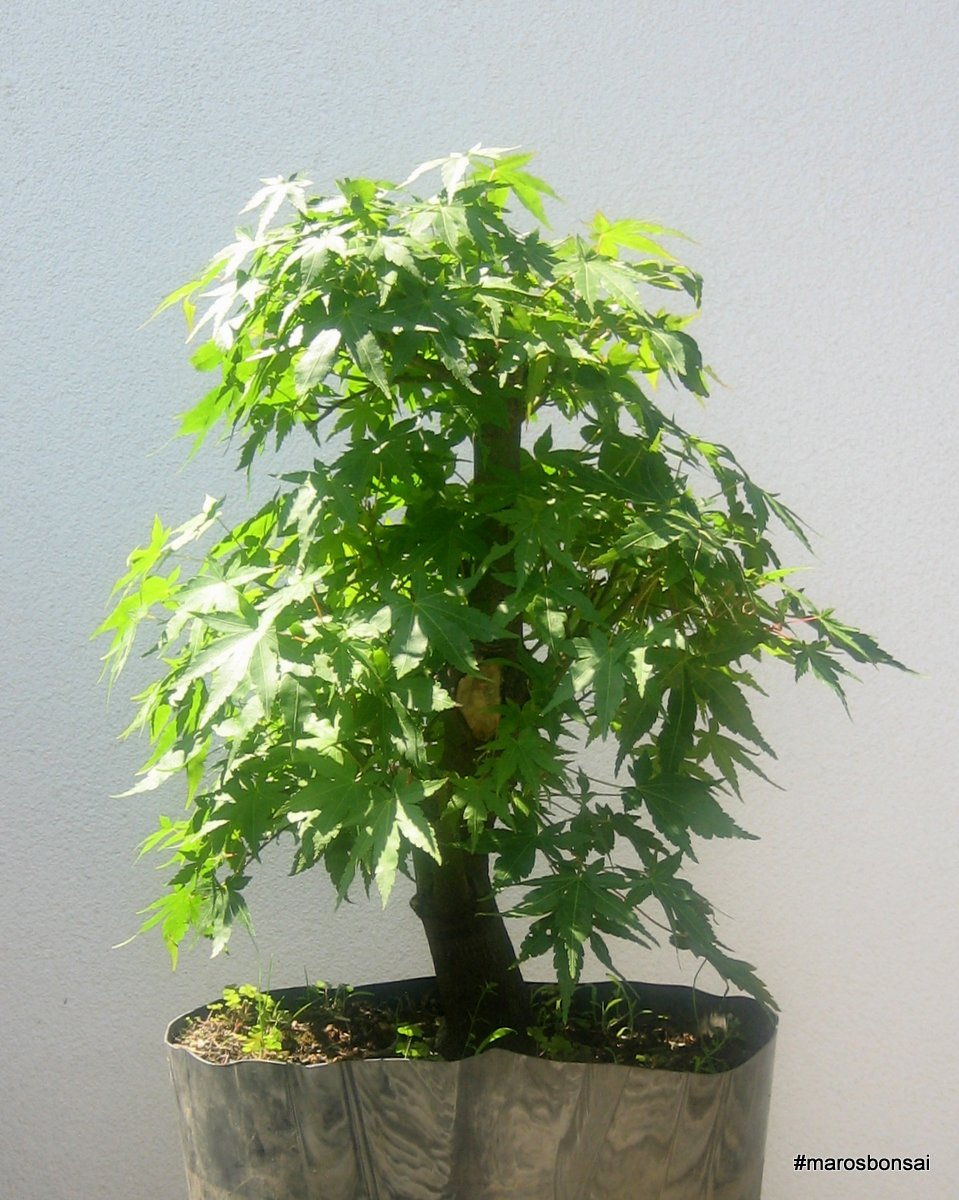 Maros Bonsai Blog Acer Palmatum After Wiring My In July 2009 Just Comminig To Garden