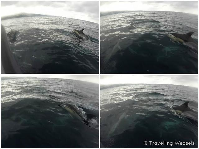 Azores Delfine