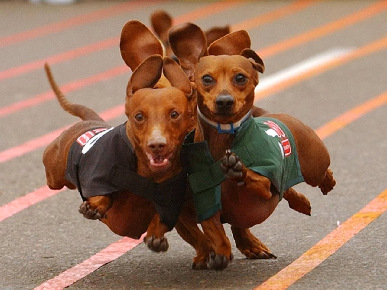 Cute dogs - part 8 (50 pics), wiener dogs running