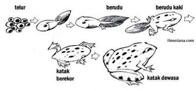 Proses Metamorfosis pada Katak