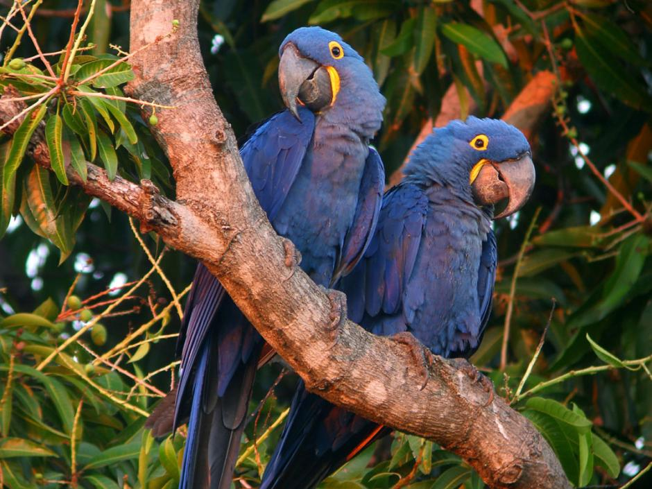 Hyacinth Macaws Pictures - Pets Cute and Docile