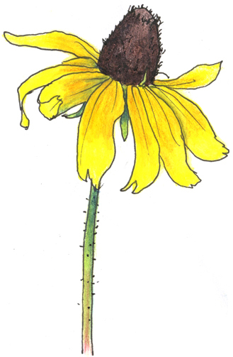 Line Drawing Coneflower : A nature art journal in southwest florida black eyed susan