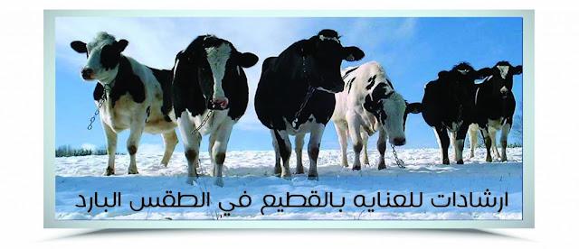 مزرعتي; الثروة الحيوانية ; الطقس البارد