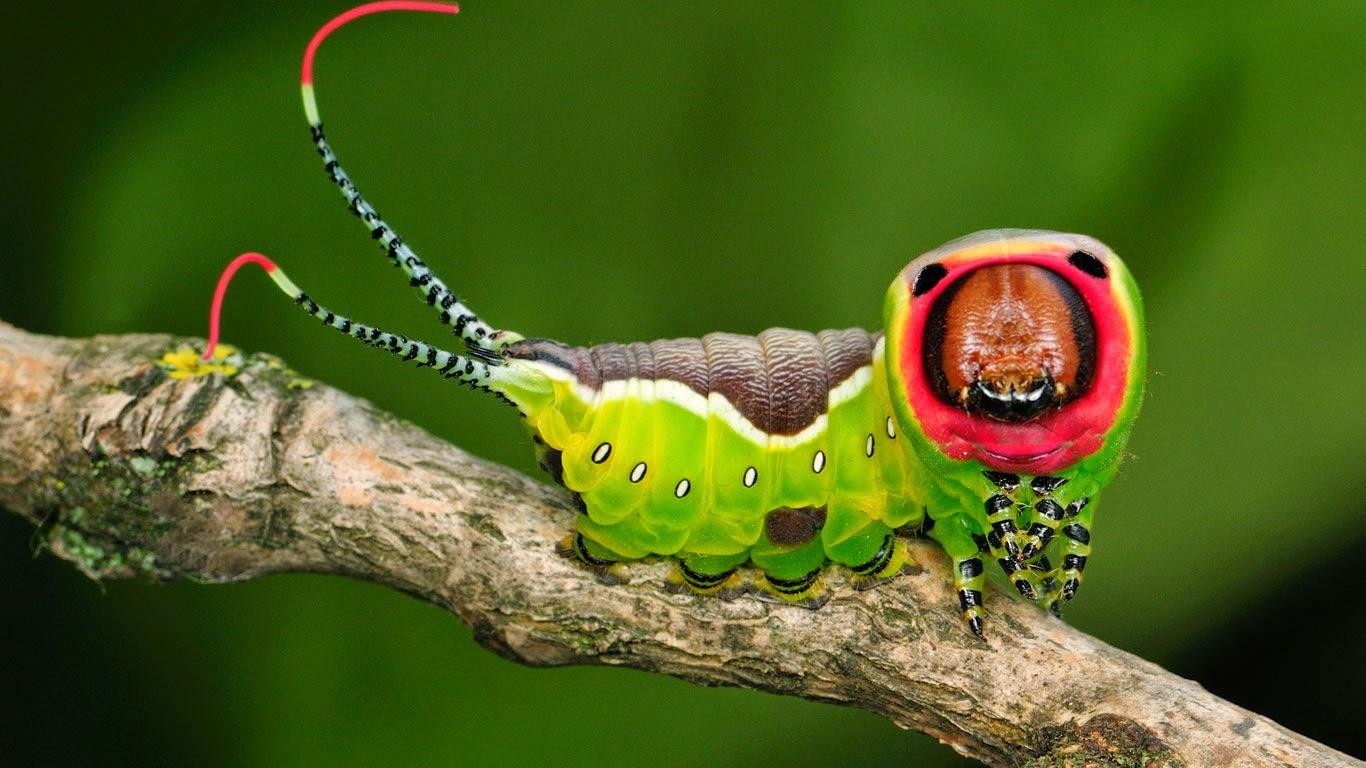 Bing fotos: Puss moth caterpillar (© Thomas Marent/Minden Pictures)