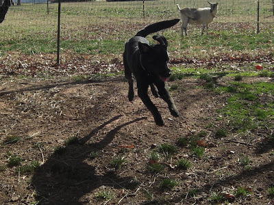 Picture of Rudy running (though it looks like he's flying through the air!) in the fence - you can see a goat in the background of the picture (she's in another fence)