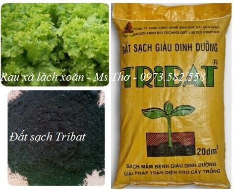 Trồng rau xà lách với đất sạch Tribat tại nhà
