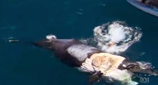 Un Australien monte sur la carcasse d'une baleine morte et se retrouve piégé