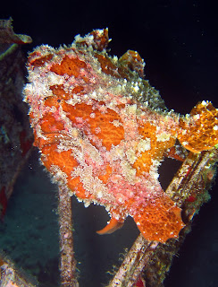 Frogfish - diving oahu hawaii