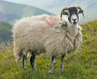 Types of Beautiful sheep and their pictures