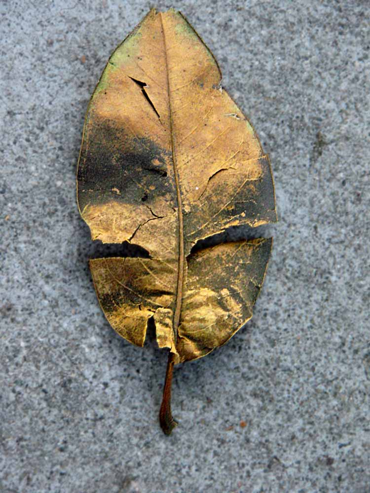 leaf on the sidewalk looks like an African Mask (c) David Ocker
