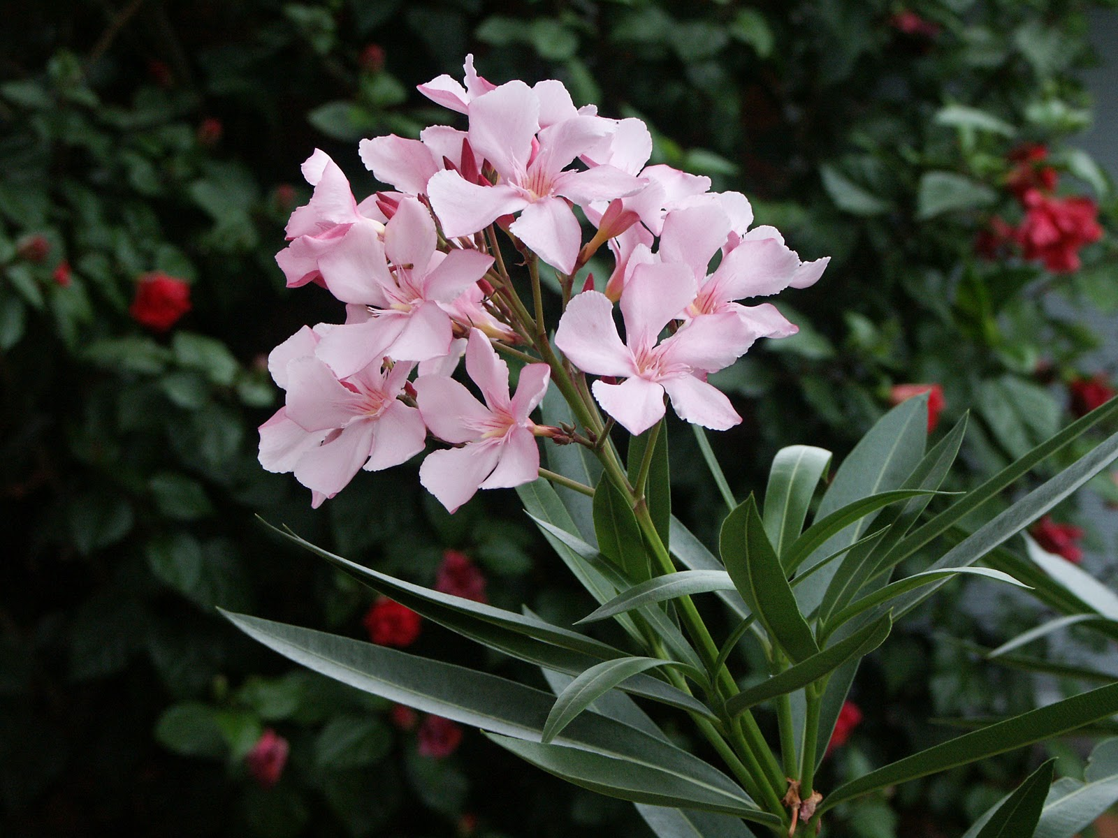 Worlds most dangerous plants deadliest plants on the - Nerium oleander ...