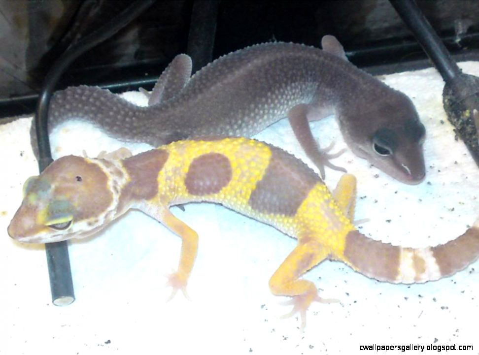 Adult and sub adult leopard gecko39s for sale Hampshire   Reptile