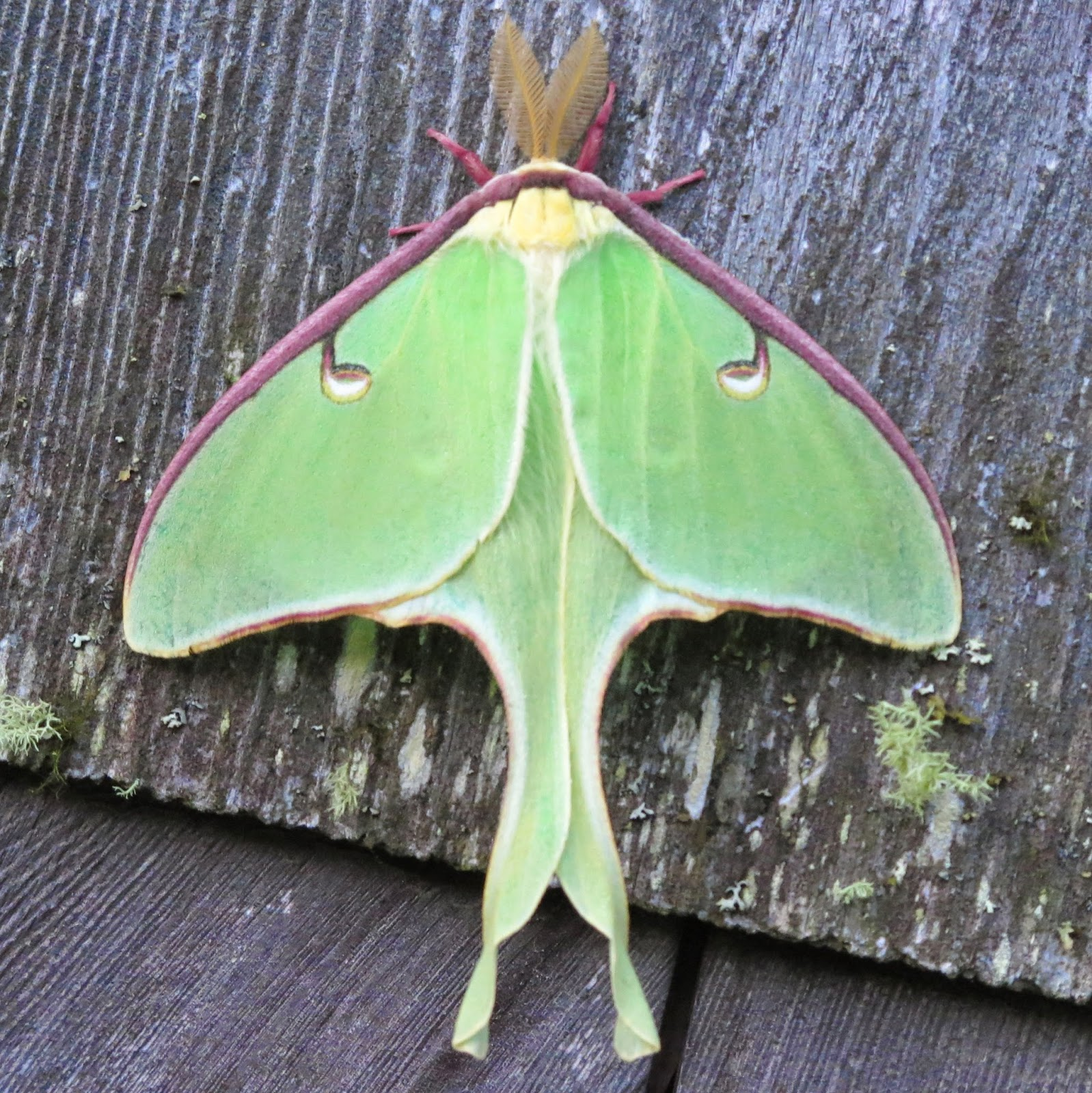 Maynard life outdoors and hidden history of maynard luna moth luna moth on old wood siding nobleboro me click on any photo to enlarge buycottarizona