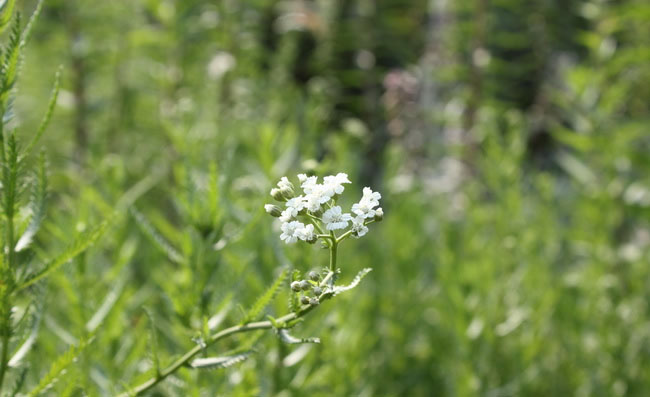 Yarrow Flowers Pictures
