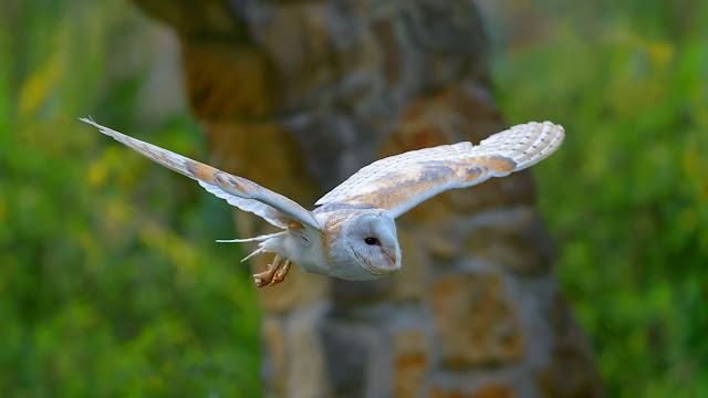 Barn owl (© Christoph Bosch/Alamy) 619